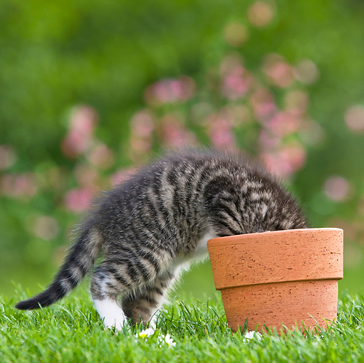 CAT 03 KH0348 01 © Kimball Stock Tabby Kitten Rummaging In Flower Pot On Grass