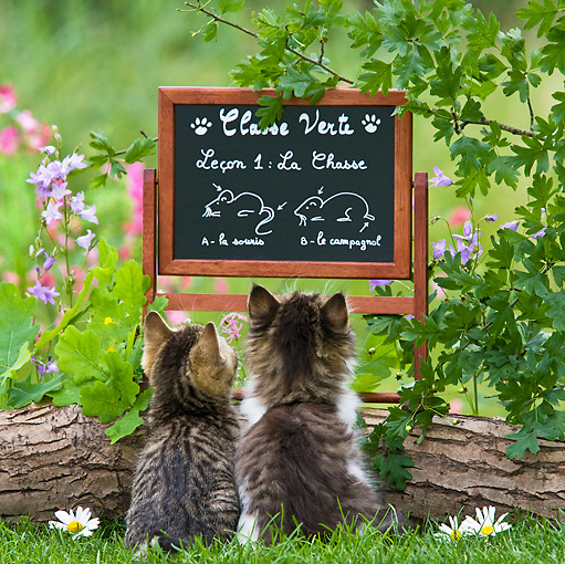 CAT 03 KH0349 01 © Kimball Stock Two Tabby Kittens Looking At Chalkboard In Garden With Drawings On How To Hunt Mice
