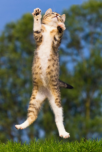 CAT 03 KH0350 01 © Kimball Stock Tabby Kitten Leaping Into Air On Grass