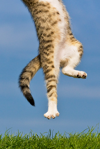 CAT 03 KH0351 01 © Kimball Stock Feet Of Tabby Kitten Leaping Into Air On Grass