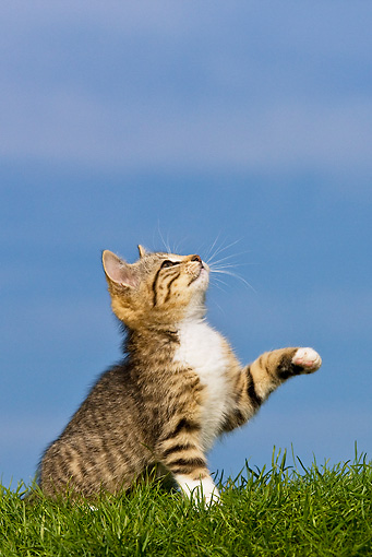 CAT 03 KH0352 01 © Kimball Stock Tabby Kitten Sitting On Grass Looking Up And Raising Paw
