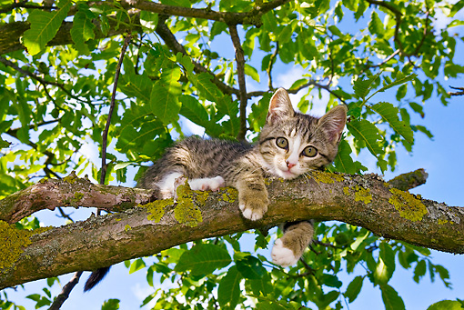 CAT 03 KH0361 01 © Kimball Stock Tabby Kitten Resting In Tree