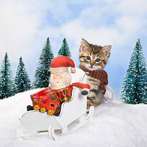 CAT 03 KH0364 01 © Kimball Stock Tabby Kitten Pushing Sleigh With Santa And Gifts