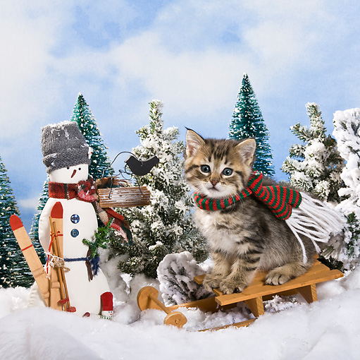 CAT 03 KH0365 01 © Kimball Stock Tabby Kitten Sitting On Sled By Snowman And Pine Trees