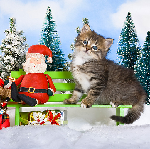 CAT 03 KH0366 01 © Kimball Stock Tabby Kitten Sitting On Bench Next To Santa And Gifts