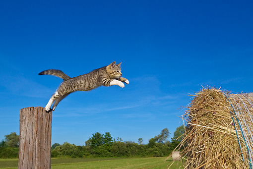 CAT 03 KH0370 01 © Kimball Stock Tabby Kitten Jumping From Wooden Post To Hay Bale Against Blue Sky