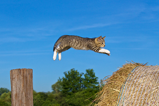 CAT 03 KH0371 01 © Kimball Stock Tabby Kitten Jumping From Wooden Post To Hay Bale Against Blue Sky
