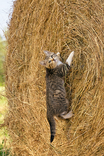 CAT 03 KH0374 01 © Kimball Stock Tabby Kitten Clinging To Hay Bale