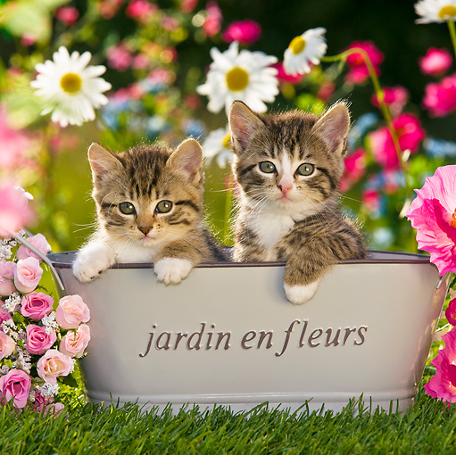 CAT 03 KH0375 01 © Kimball Stock Two Tabby Kittens Sitting In Basin In Garden