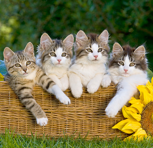 CAT 03 KH0376 01 © Kimball Stock Four Tabby Kittens Sitting In Wicker Basket On Grass