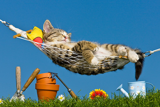 CAT 03 KH0378 01 © Kimball Stock Tabby Kitten Sleeping On Hammock By Gardening Tools