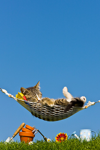 CAT 03 KH0379 01 © Kimball Stock Tabby Kitten Sleeping On Hammock By Gardening Tools