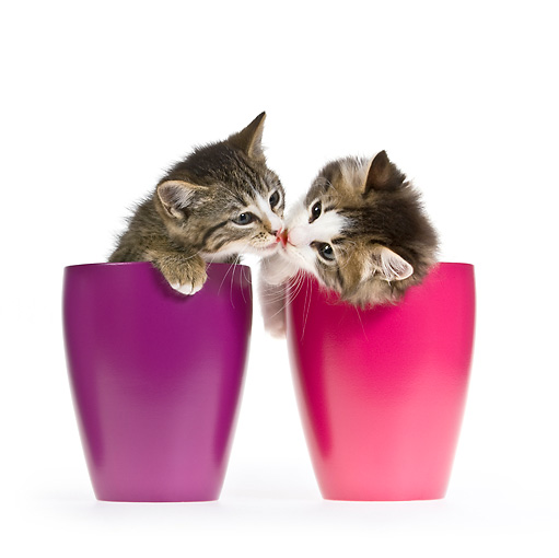 CAT 03 KH0383 01 © Kimball Stock Two Tabby Kittens Sitting In Purple And Pink Cups Kissing On White Seamless