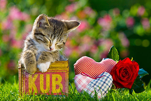 CAT 03 KH0387 01 © Kimball Stock Tabby Kitten Sleeping In Old Box By Fabric Hearts And Red Rose