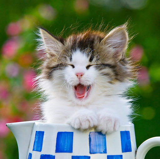 CAT 03 KH0389 01 © Kimball Stock Tabby Kitten Sitting In Blue And White Teapot Yawning