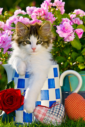 CAT 03 KH0390 01 © Kimball Stock Tabby Kitten Sitting In Blue And White Teapot By Red Rose And Fabric Hearts