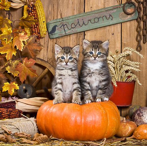 CAT 03 KH0396 01 © Kimball Stock Two Tabby Kittens Sitting On Pumpkin In Autumn