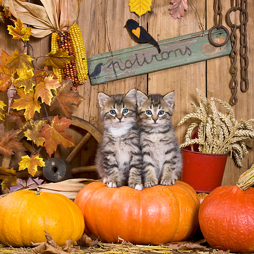 CAT 03 KH0397 01 © Kimball Stock Two Tabby Kittens Sitting On Pumpkin In Autumn