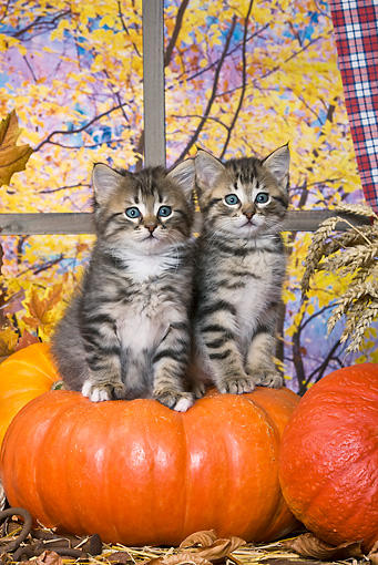 CAT 03 KH0398 01 © Kimball Stock Two Tabby Kittens Sitting On Pumpkin In Front Of Window By Autumn Trees