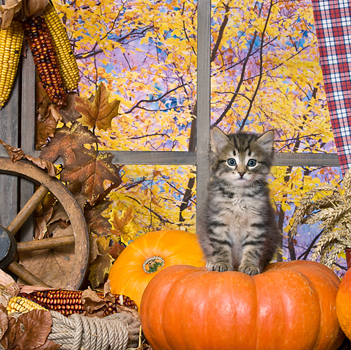 CAT 03 KH0399 01 © Kimball Stock Tabby Kitten Sitting On Pumpkin In Front Of Window By Autumn Trees