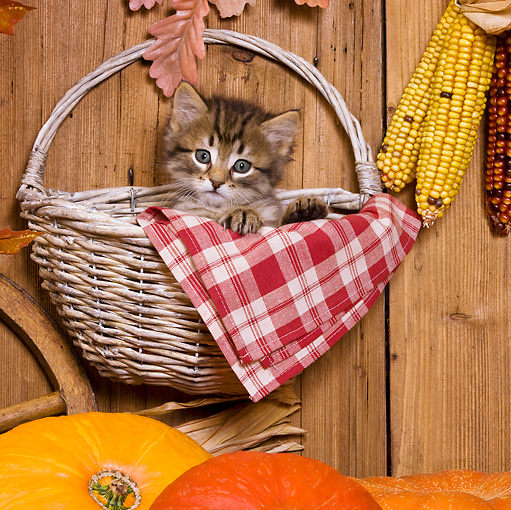 CAT 03 KH0400 01 © Kimball Stock Tabby Kitten Sitting In Wicker Basket Hanging On Fence By Pumpkins And Corn