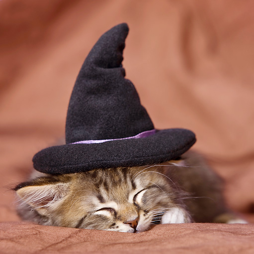 CAT 03 KH0401 01 © Kimball Stock Tabby Kitten With Witch Hat Sleeping In Studio