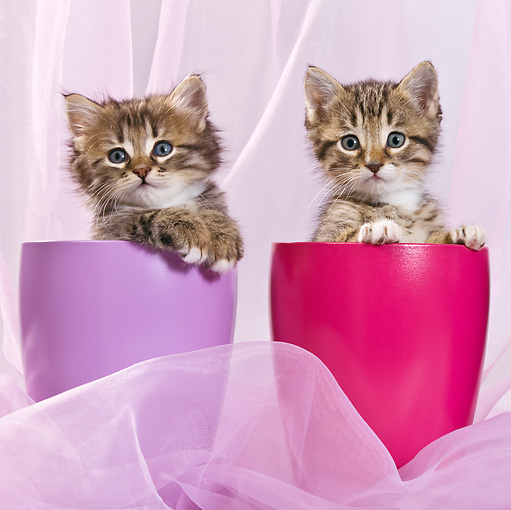 CAT 03 KH0402 01 © Kimball Stock Two Tabby And White Kittens Sitting In Purple And Pink Pots In Studio