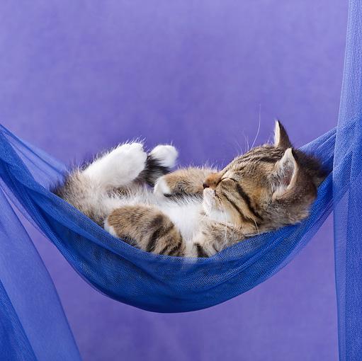 cat 03 kh0405 01    kimball stock tabby kitten sleeping in blue hammock in studio hammock   animal stock photos   kimballstock  rh   kimballstock
