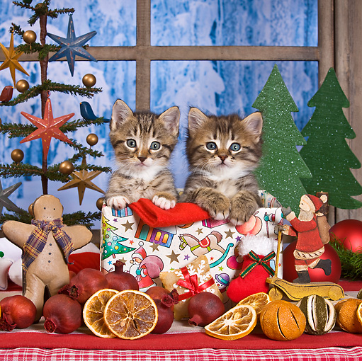 CAT 03 KH0412 01 © Kimball Stock Two Tabby Kittens Sitting In Christmas Gift Box By Decor