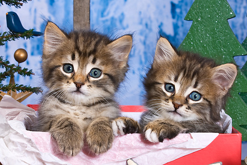 CAT 03 KH0413 01 © Kimball Stock Two Tabby Kittens Sitting In Red Gift Box By Christmas Decor