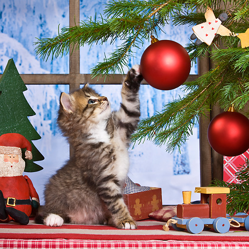 CAT 03 KH0414 01 © Kimball Stock Tabby Kitten Playing With Christmas Tree Ornament