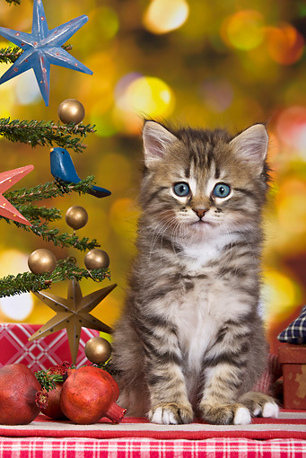 CAT 03 KH0415 01 © Kimball Stock Tabby Kitten Sitting By Christmas Tree