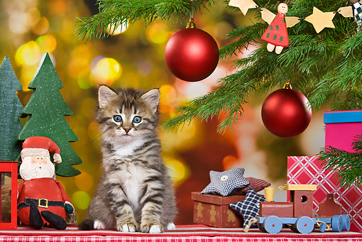 CAT 03 KH0416 01 © Kimball Stock Tabby Kitten Sitting By Christmas Tree And Gifts