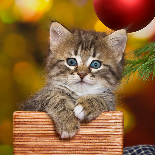 CAT 03 KH0417 01 © Kimball Stock Tabby Kitten Sitting In Wooden Box By Christmas Tree