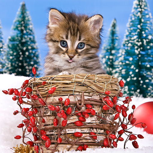 CAT 03 KH0418 01 © Kimball Stock Tabby Kitten Sitting In Basket In Christmas Scene