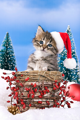 CAT 03 KH0419 01 © Kimball Stock Tabby Kitten Wearing Santa Hat Sitting In Basket In Snow