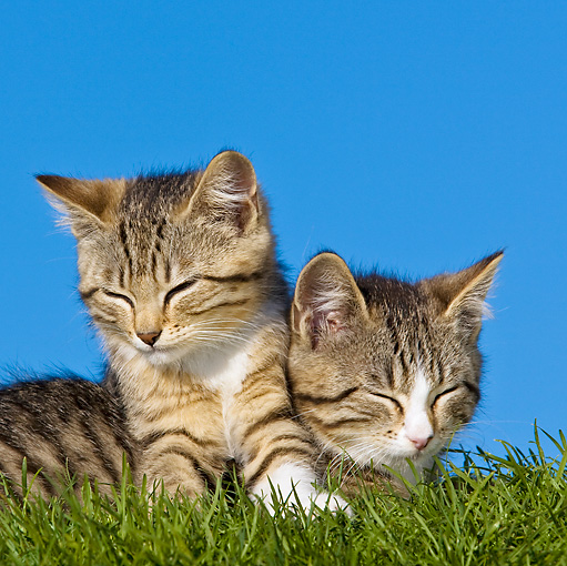 CAT 03 KH0423 01 © Kimball Stock Two Tabby Kittens Resting On Lawn