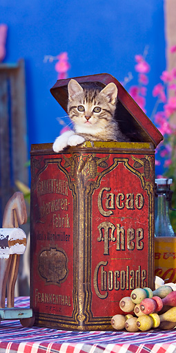 CAT 03 KH0424 01 © Kimball Stock Tabby Kitten Sitting In Old Cocoa Tin