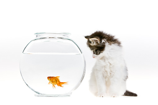 CAT 03 KH0425 01 © Kimball Stock White And Tabby Kitten Looking At Goldfish On White Seamless