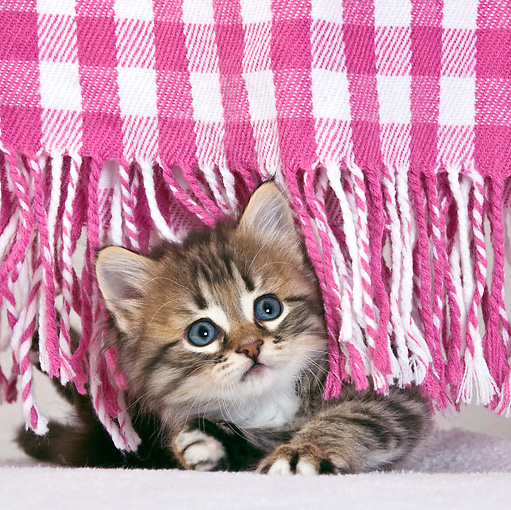 CAT 03 KH0428 01 © Kimball Stock Tabby Kitten Peeking Out From Fringes Of Pink Blanket