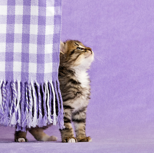 CAT 03 KH0432 01 © Kimball Stock Tabby Kitten Playing Behind Fringes Of Purple Blanket