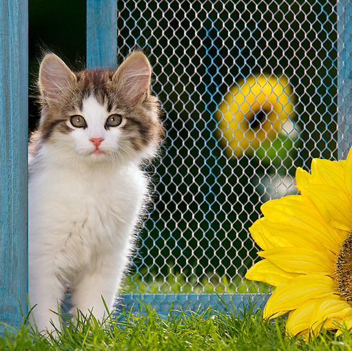 CAT 03 KH0434 01 © Kimball Stock White And Tabby Kitten Sitting On Grass By Old Barn Door And Sunflower