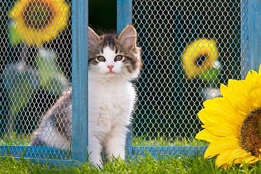 CAT 03 KH0435 01 © Kimball Stock White And Tabby Kitten Sitting On Grass By Old Barn Door And Sunflowers