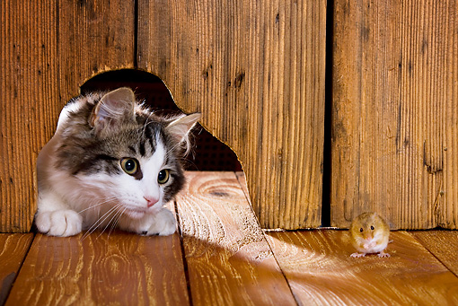 CAT 03 KH0439 01 © Kimball Stock White And Tabby Kitten Peeking Through Hole In Wall At Mouse