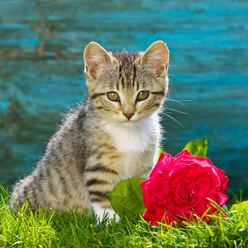 CAT 03 KH0445 01 © Kimball Stock Tabby Kitten Sitting On Grass By Red Rose