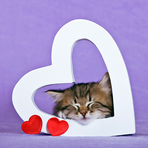CAT 03 KH0447 01 © Kimball Stock Tabby Kitten Sleeping In Heart Valentine In Purple Studio