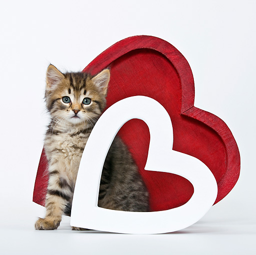 CAT 03 KH0448 01 © Kimball Stock Tabby Kitten Sitting Between Two Hearts On White Seamless