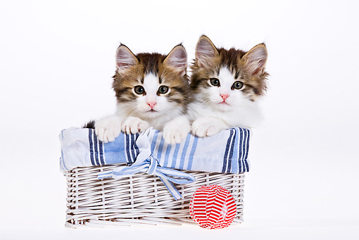 CAT 03 KH0449 01 © Kimball Stock Two White And Tabby Kittens Sitting In Basket On White Seamless