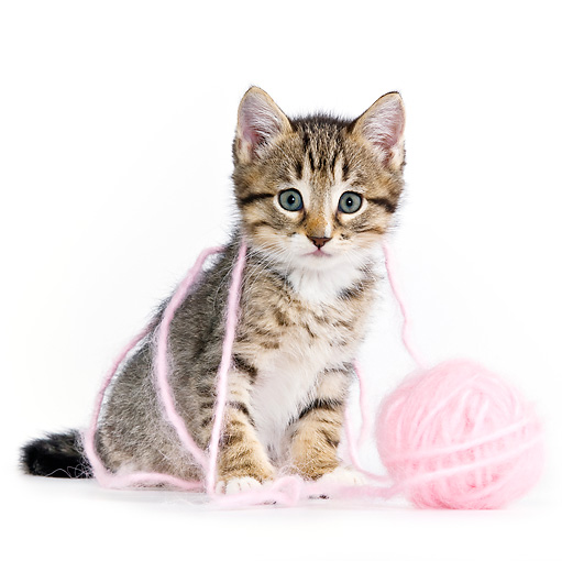 CAT 03 KH0451 01 © Kimball Stock Tabby Kitten Playing With Pink Yarn On White Seamless