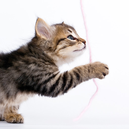 CAT 03 KH0452 01 © Kimball Stock Close-Up Of Tabby Kitten Playing With Pink Yarn On White Seamless